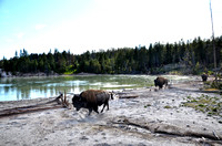 Bison at Mud Volcano