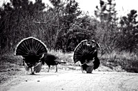 Colorado Turkeys