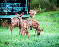 Fawns in Laporte, CO
